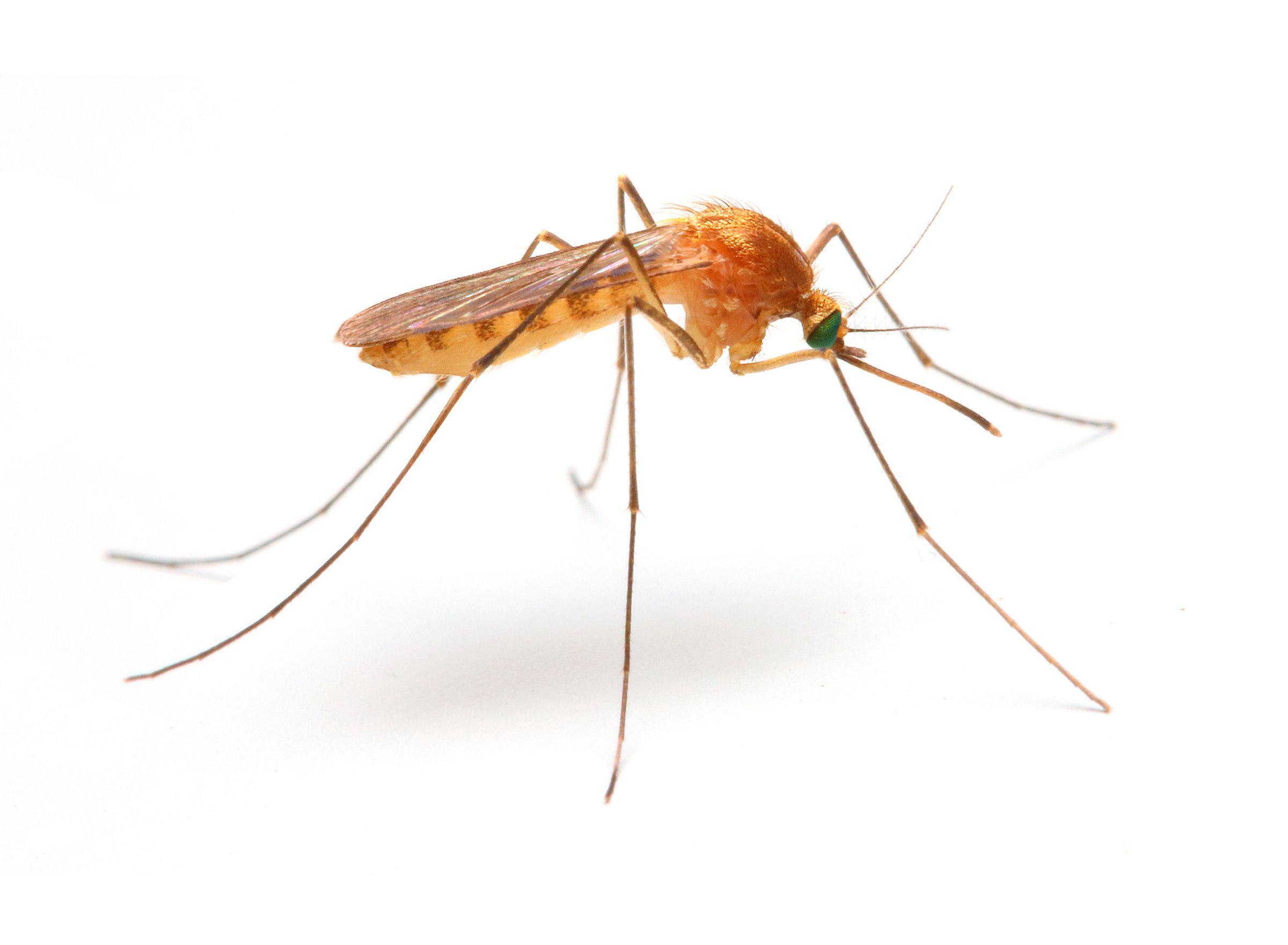 Bigstock Anopheles Mosquito Dangerous 74676175 (2400 1761)
