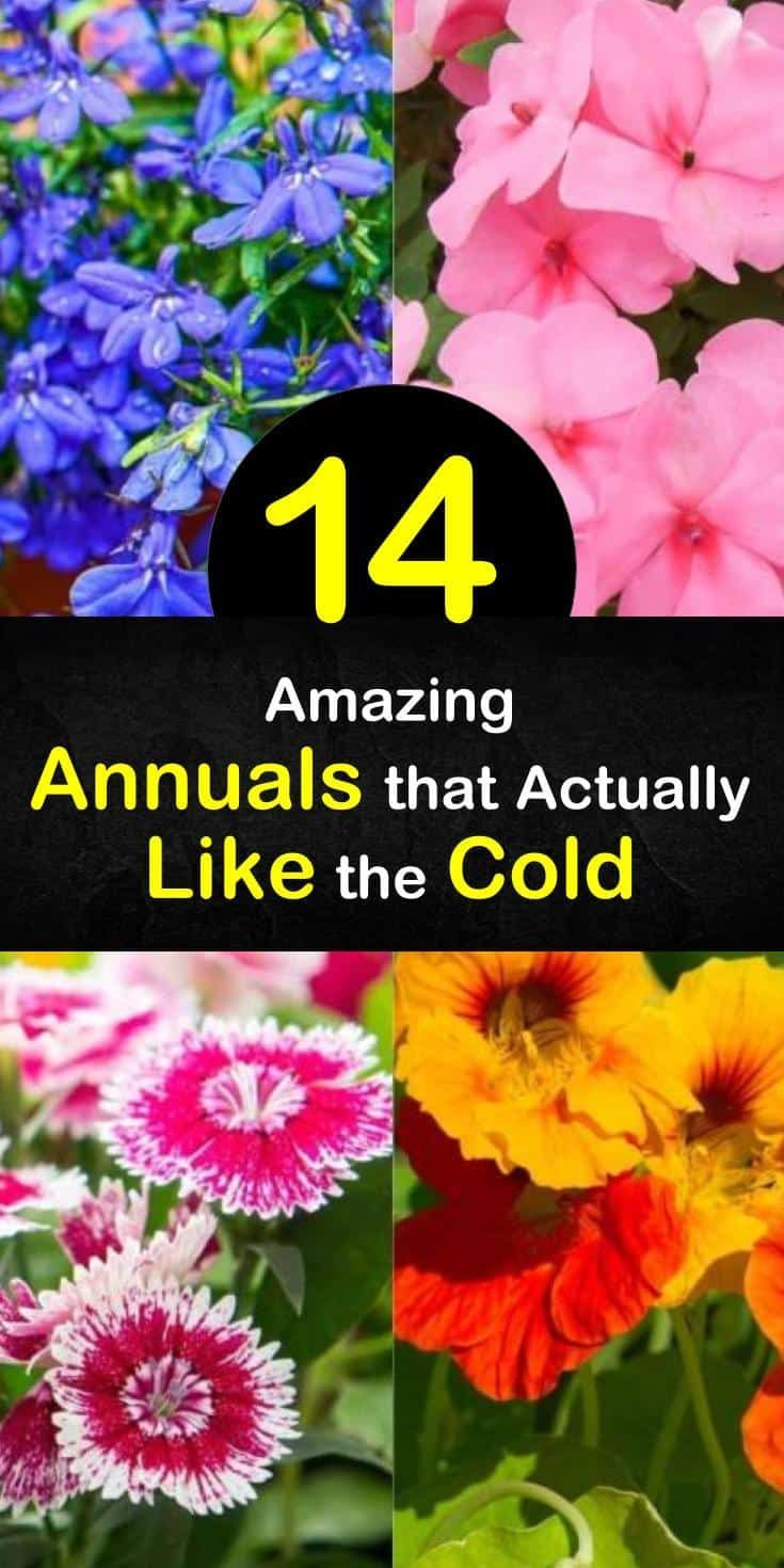 14 Amazing Annuals that Actually Like the Cold in 2020