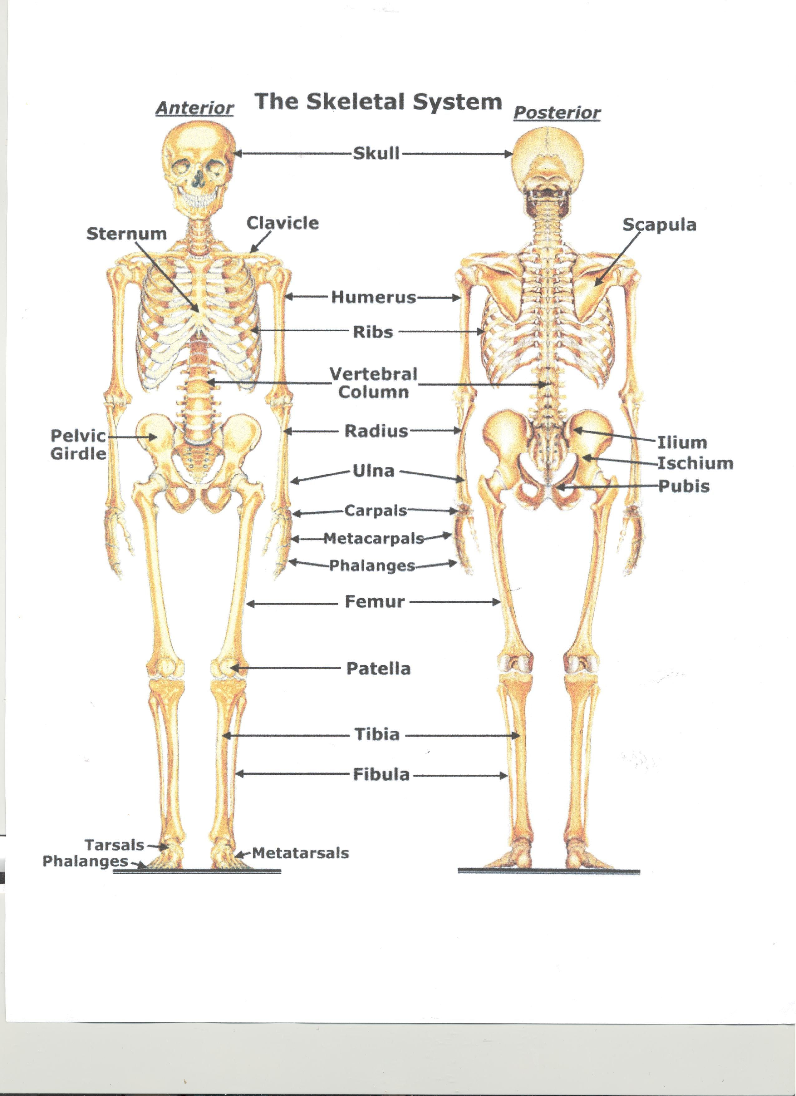 skeletal system diagram - Google Search | medical | Pinterest