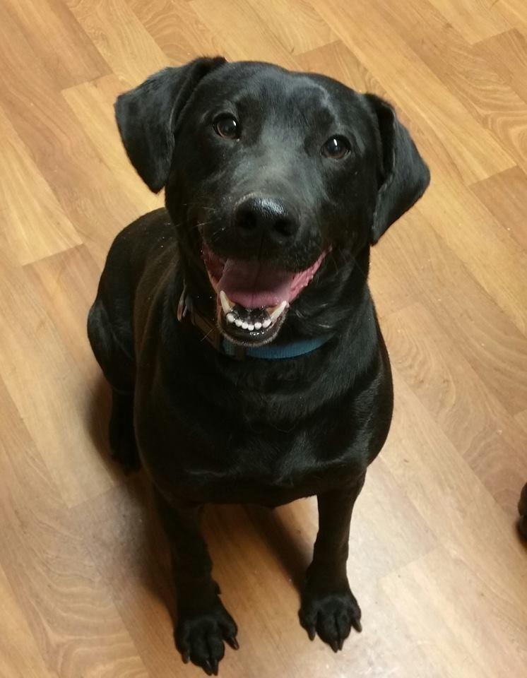 Adopt Nook on (With images) Labrador retriever, Dog