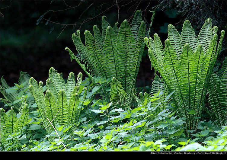 Ostrich Fern Metteuccia Struthiopteris Ostrich Fern Deer Resistant Plants Native Plants