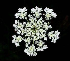 Queen_Annes_Lace_Patrick_J._Alexander_USDA_NRCS_PLANTS_Database_.jpg 285×248 pixels