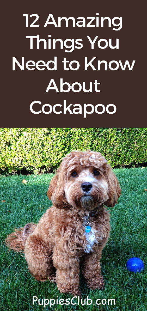 12 Amazing Things About Cockapoo Cocker Spaniel Poodle Mix Dogs
