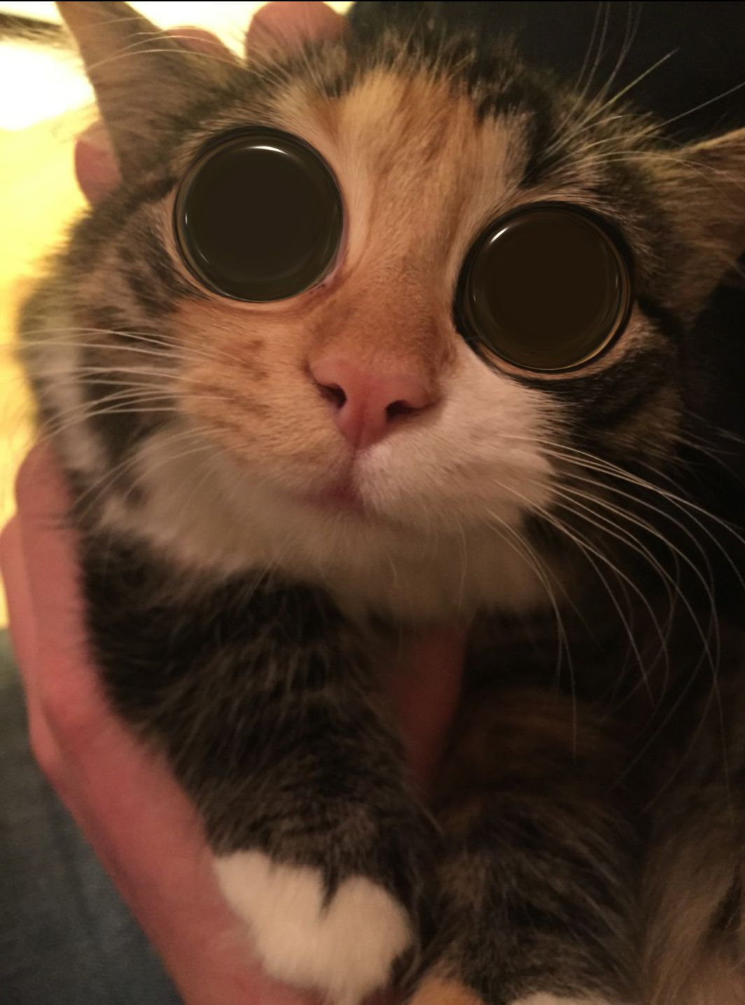 Gave my cat some lsd iftgmwtp cute pinterest cat