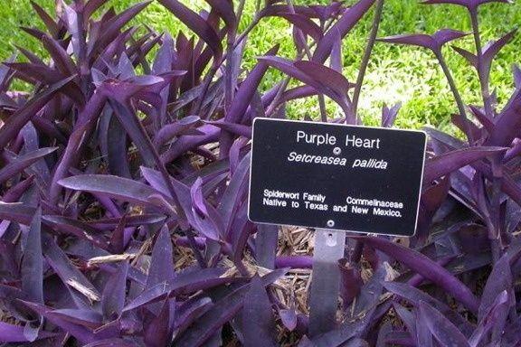 Purple Heart Setcreasea