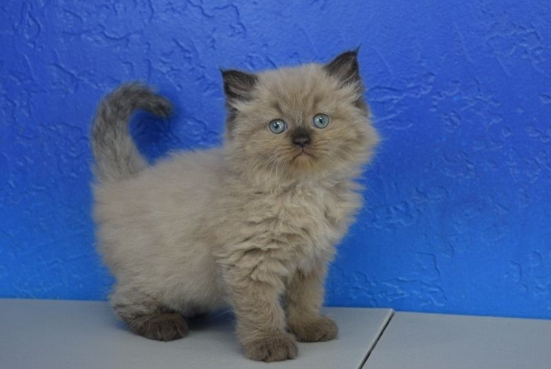 Fern Chocolate Colourpoint Mink Female Ragamuffin Kitten Ragamuffin Kittens Ragamuffin Cat Cute Cats