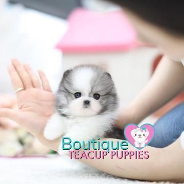 "Lil ""Penelope"" <3 -Superior Thick Coat! - Micro Cream Pomeranian - Available #cuteteacuppuppies Luxury Micro and Mini Teacup Puppies For Sale. We offer a beautiful selection of the best quality and health of teacup puppies. Full guarantee and insurance rebates for our babies. White Pomeranian Puppies are our speciality! We have gorgeous, micro and teacup puppies for sale now. Mini Pomskys too! #cuteteacuppuppies Lil ""Penelope"" <3 -Superior Thick Coat! - Micro Cream Pomeranian - Available #cuteteacuppuppies"