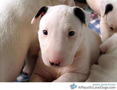 Cute Bull Terrier Pictures