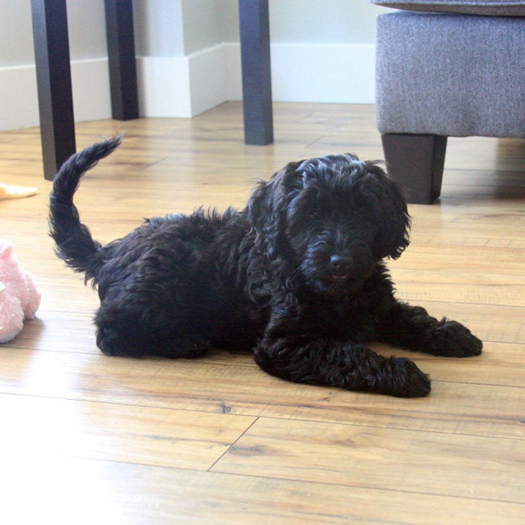 Mini Labradoodles F1b Family Friendly And Only 15 30 Lbs
