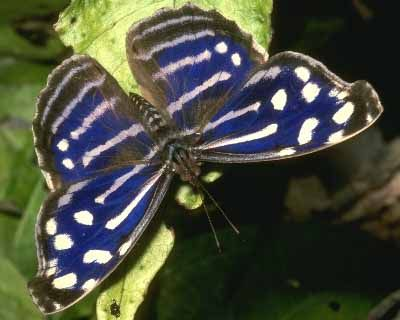 Tropical Blue Wave (Myscelia cyaniris)