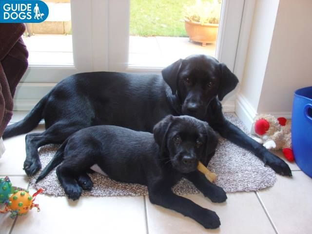 One Of Our Guide Dog Puppies Pippa Chocolate Lab Puppies Black Labrador Retriever Guide Dog