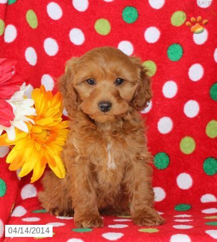Cockapoo Puppies For Sale Lancaster Puppies Cockapoo Puppies For Sale Cockapoo Puppies Puppies For Sale