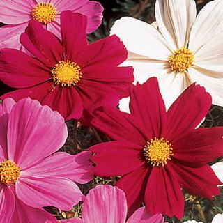 Gazebo Red Cosmos Flower Seeds Flower Seeds Flowers Dream Garden