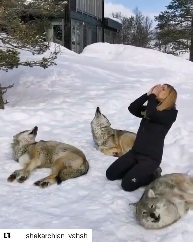 Girl With Her Cute Wolves Video Cute Funny Animals Funny Animals Cute Baby Animals