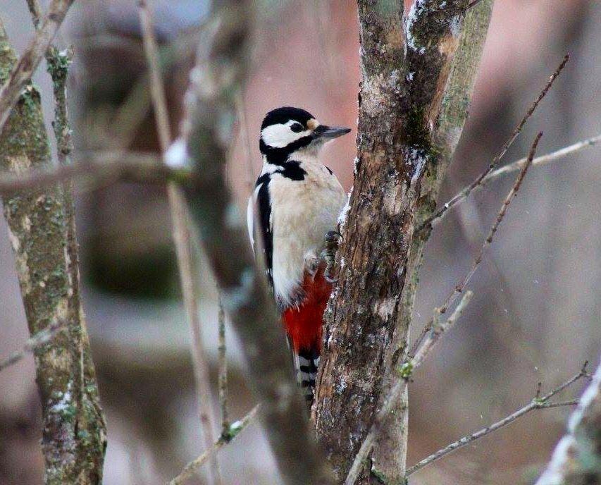 Greatspottedwoodpecker /käpytikka