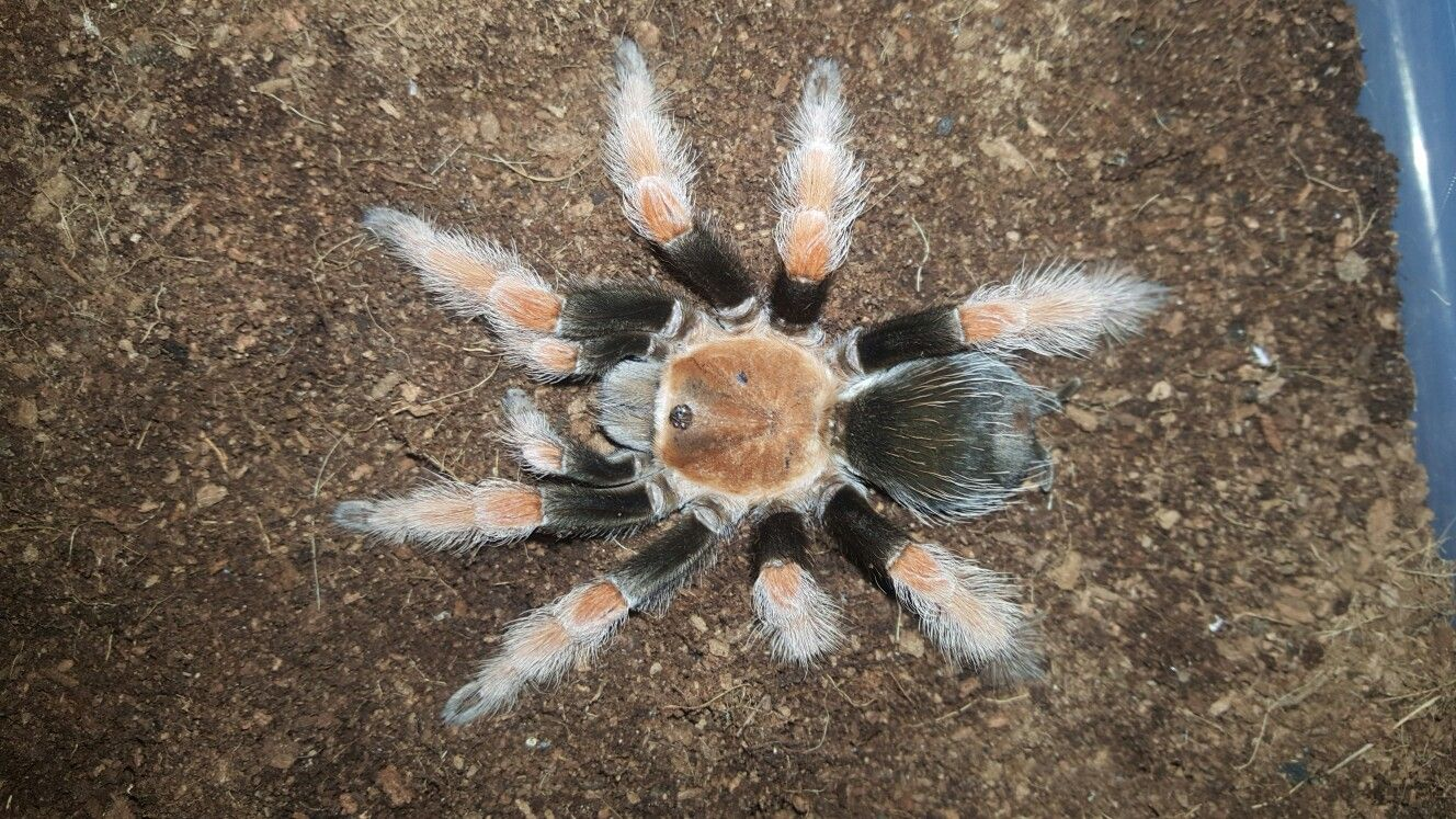 Brachypelma Boehmei Adult Female