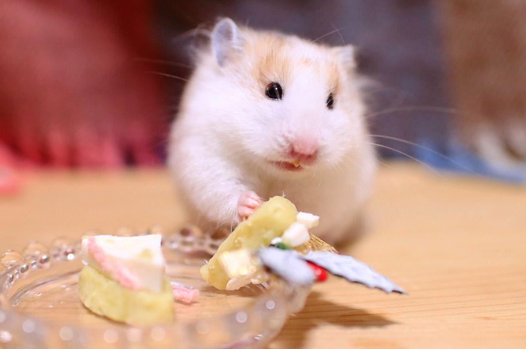 画像に含まれている可能性があるもの 食べ物 Animals Hamster