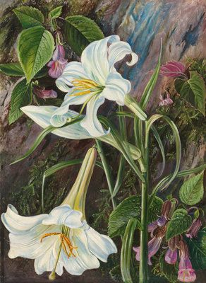 Marianne North, Kew Gardens   The Great Lily Of Nainee Tal, In North India.  © The Trustees Of The Royal Botanic Gardens, #Kew