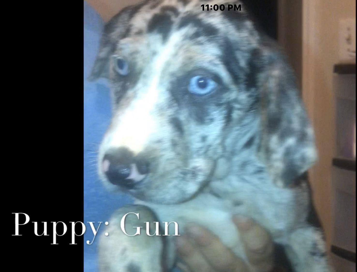 Gunner English Golden Retriever Puppy For Sale North Manchester