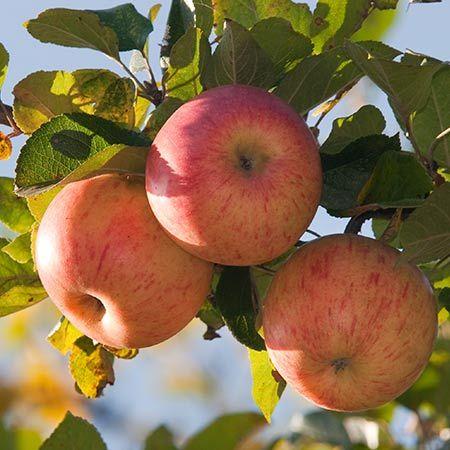 Winesap Apple Tree On Fast Growing Trees Nursery Fast Growing Trees Apple Tree Growing Tree