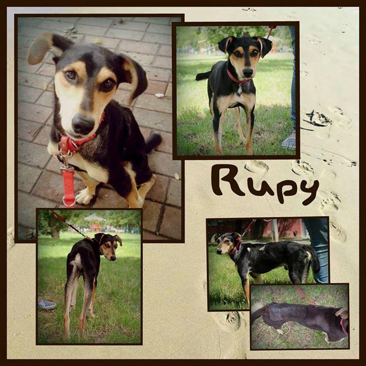 Rupy ist ein ca. 1 jähriger sehr süßer unglaublich hübscher und kastriert Rüde. Er hat eine Schulterhöhe von ca. 42 cm. Wenn Rupy etwas Vertrauen aufgebaut hat ist er sehr leicht zu führen und lernt sehr schnell. Wir wünschen uns für diese charmanten und freundlichen Rüden ein Für-immer-Zuhause dass etwas ruhiger gelegen ist. Turbulentes Stadtleben stresst ihn und er reagiert nervös. Ruby ist noch in Ungarn.  Er ist geimpft und gechipt und wird nur nach VK und mit Schutzvertrag vermittelt…
