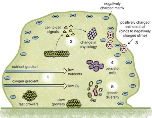 Biofilms Bacteria In A Fortress Biofilm Bacteria Physiology