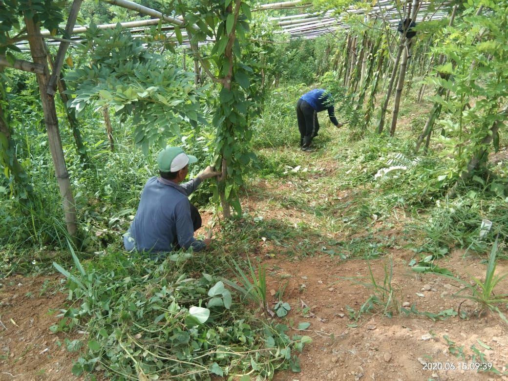 Kebun Vanili Bogor