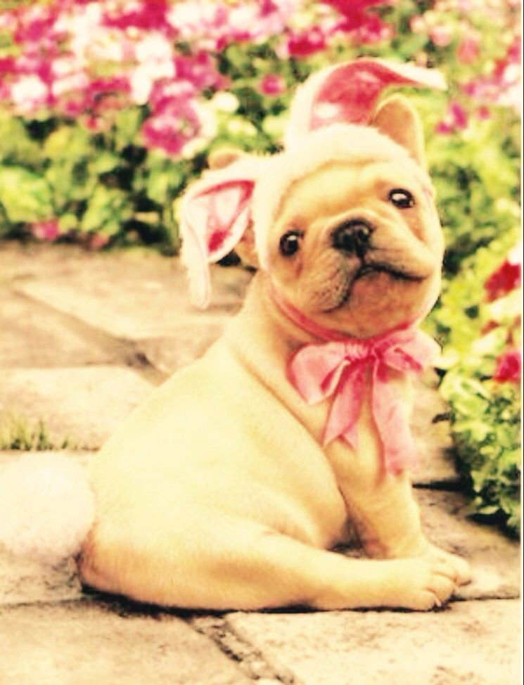 French Bulldog in Bunny Outfit Easter Card, from Dogstuff