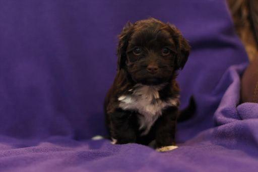 Litter Of 8 Havanese Puppies For Sale In Mantorville Mn Adn 21009 On Puppyfinder Com Gender Female Age 5 Weeks O Puppies Puppies For Sale Havanese Puppies
