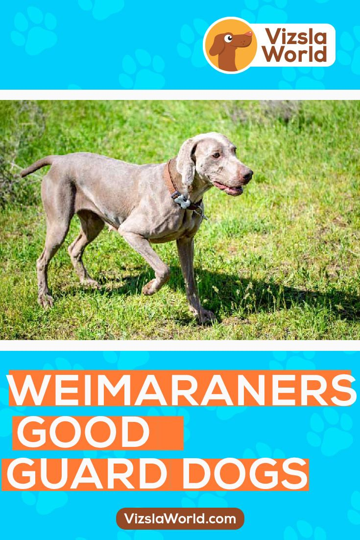 Weimaraner dogs are one of the boldest, most cheerful, and energetic breeds known today. In addition, they are characterized by being loyal and often have a protective instinct. #Weimaraner #Weimaranerdogs #puppiesofinstagram #dogoftheday #dog