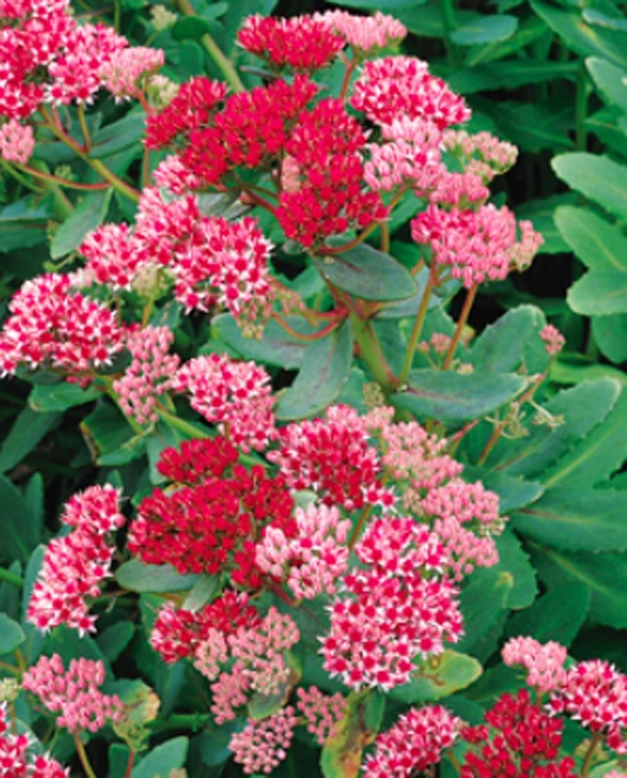 Abbeydore sedum google search new perennials for