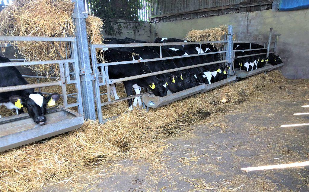 Calf Feed Trough Hayvan