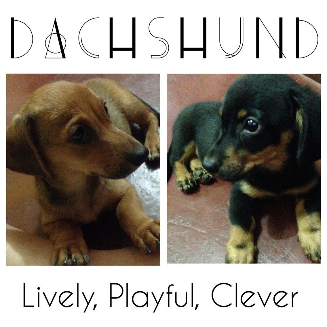 For Sale Dachshund Puppies Message Us At Www Fb Com