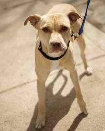 Yellow Lab Pitbull Mix I Love You Reminds Me Of Tank Lab