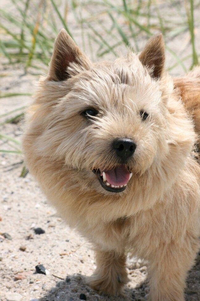 Norwich Terrier Ede Norwich Terrier Terrier Animals