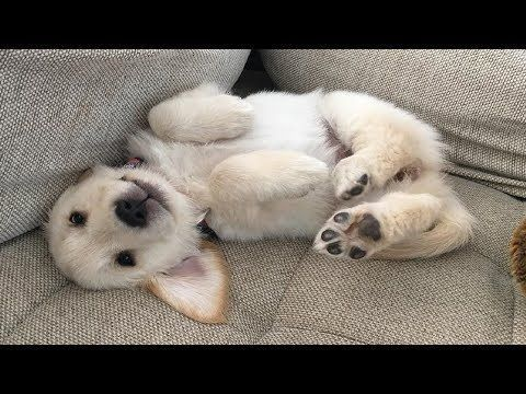Best Of Cute Golden Retriever Puppies Compilation 34 Funny Dogs