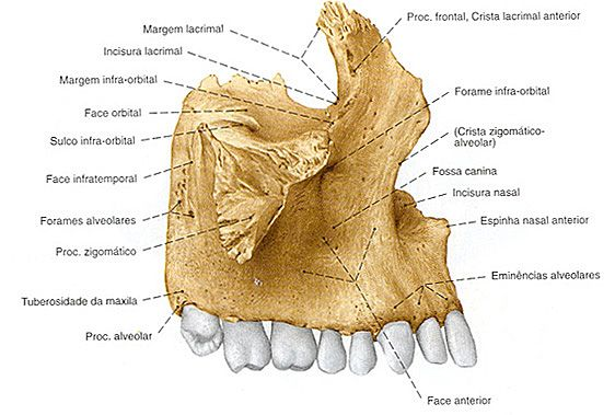 Maxila Vista Lateral Anatomia Dos Ossos Ossos Da Cabeça Cabeça E Pescoço