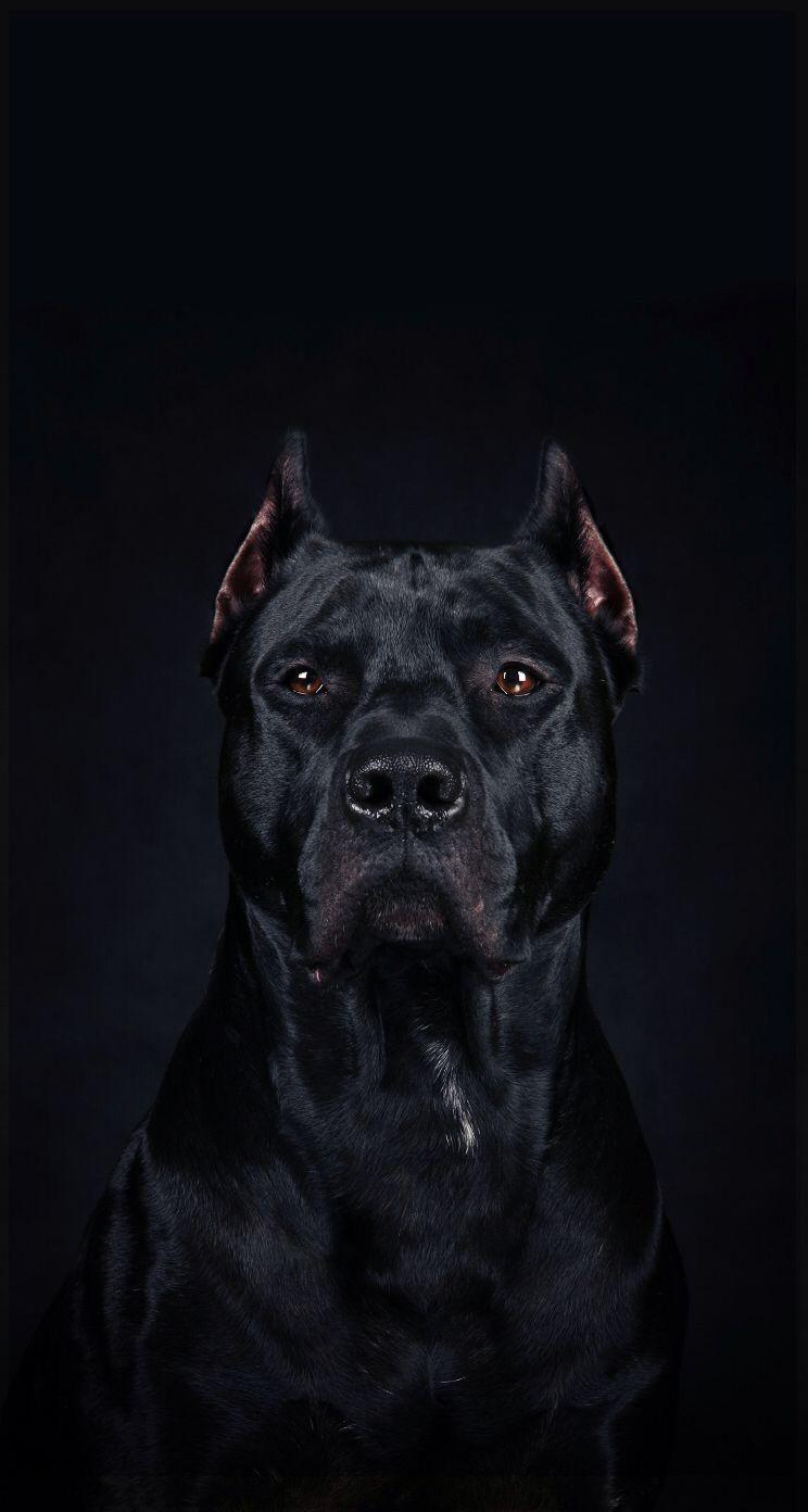 Hustle Dog Pictures, Pitbull Wallpaper, Dog Wallpaper, Animal Wallpaper, Cane Corso Mastiff