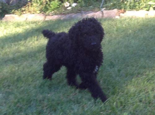 Akc Ckc Standard Poodle Pup 10 Wks Male Price Reduced Poodle