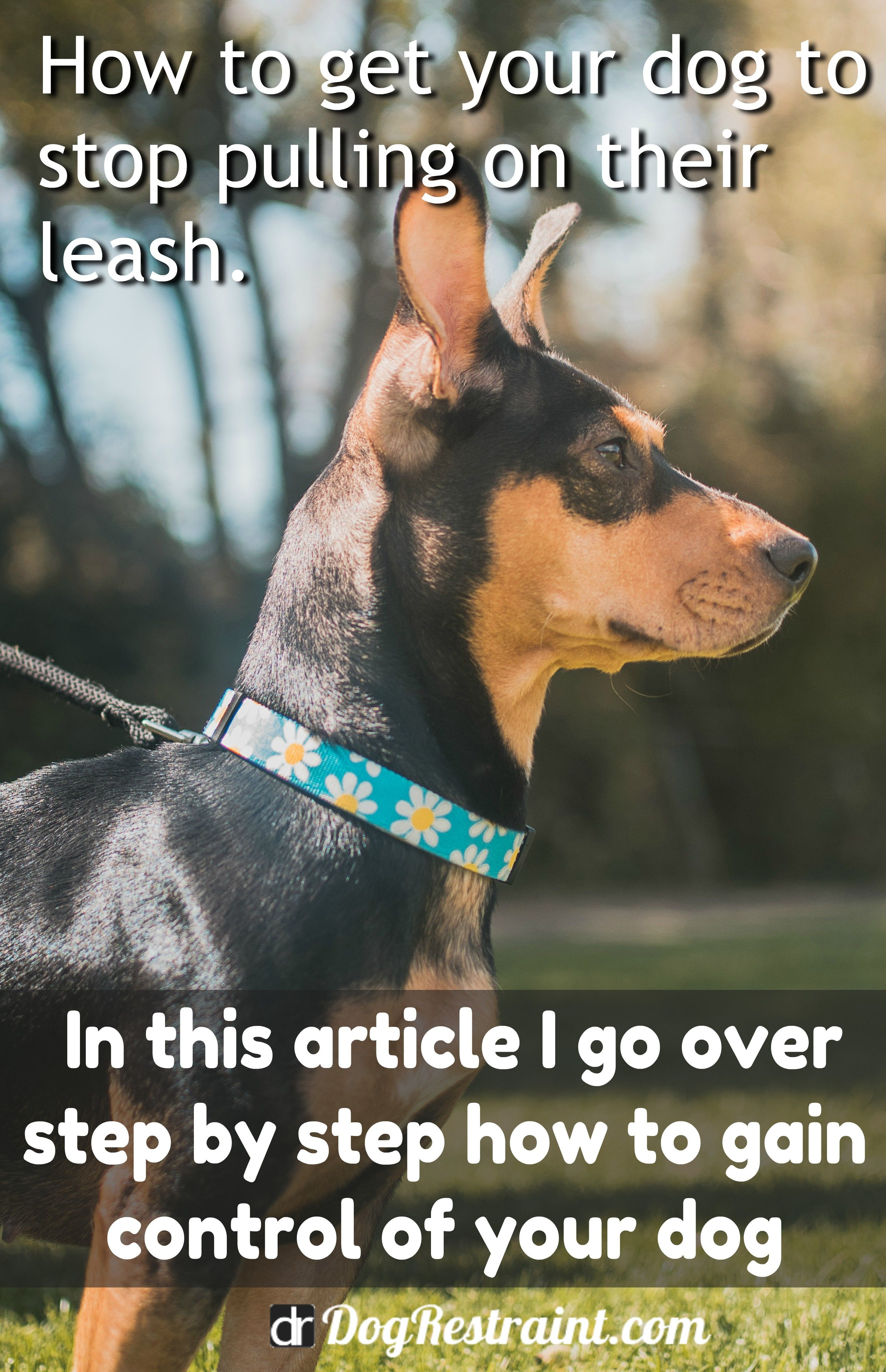 Dog Pulling On Lead Solutions Dog Training Dogs Dog Doctor