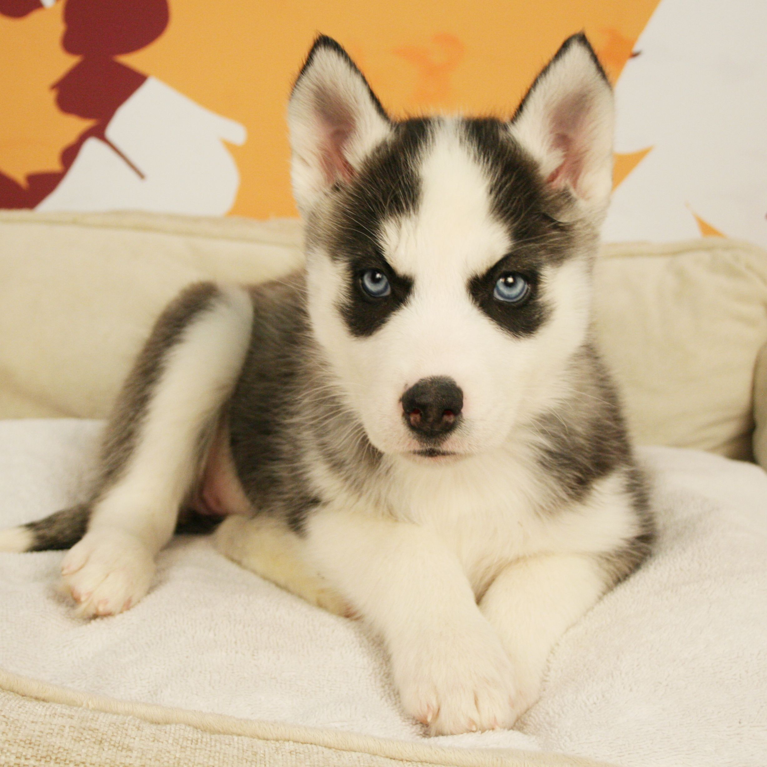 Balto Is That You We Love Adorable Siberian Husky Puppies