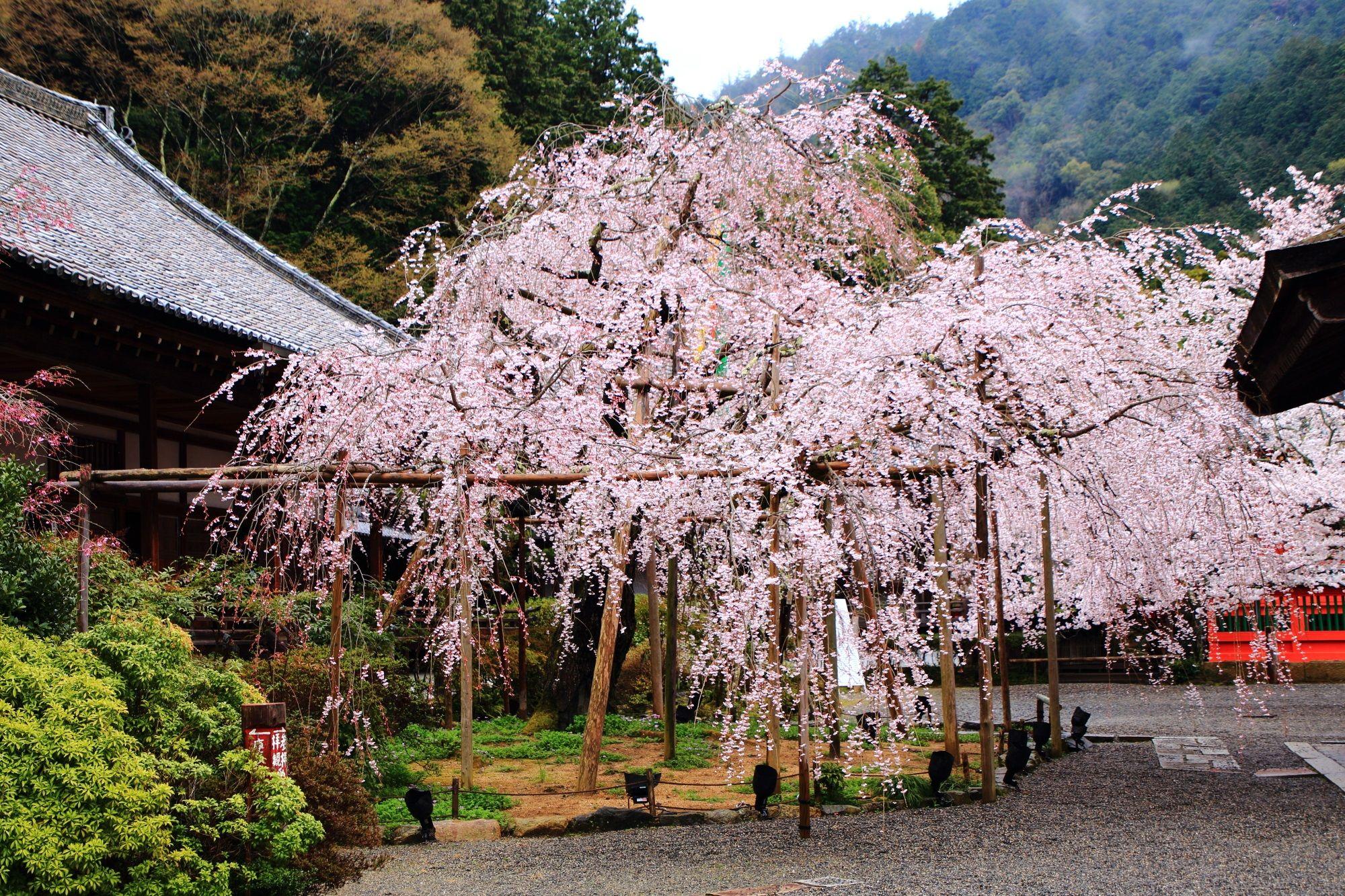 毘沙門堂 桜 京都の古刹の可憐なしだれ桜