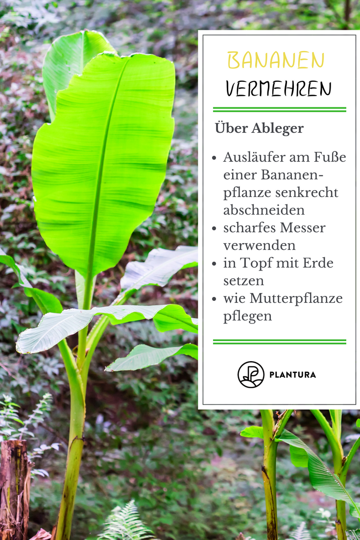chinakohl pflanzen tipps garten pflege, bananenpflanze im eigenen garten pflanzen & pflegen | garten ideen, Design ideen