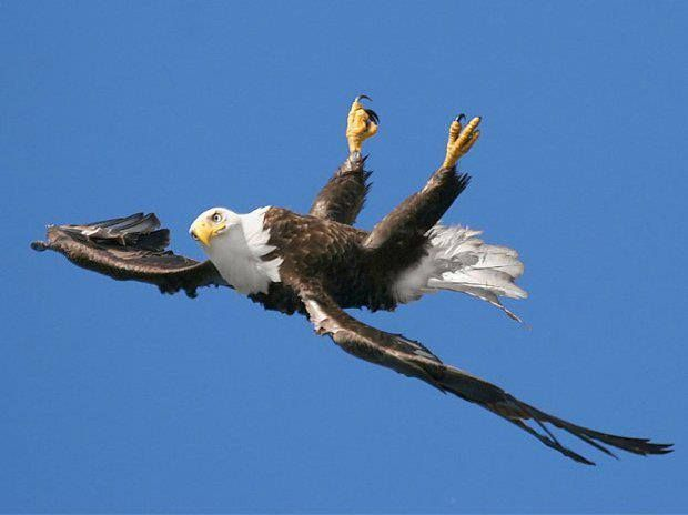 A Bald Eagle Snapped Flying Upside Down Photo By Pam Mullins In