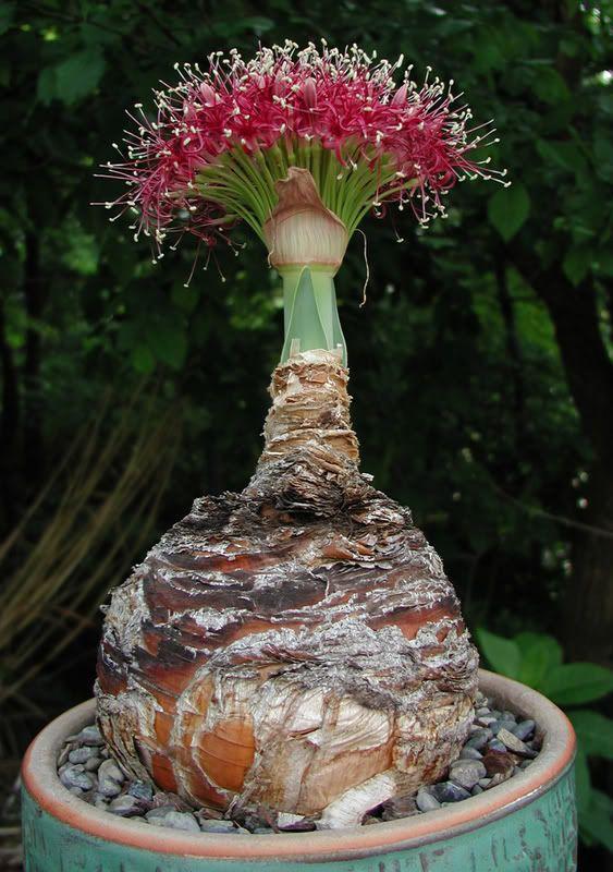 Boophone Disticha: Image Boophane Disticha Garden Forums