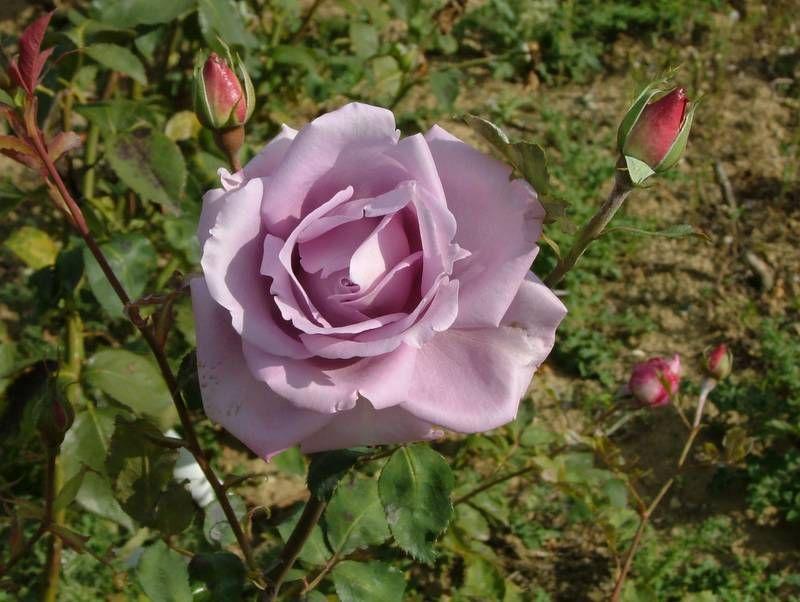 Роза плетистая голубая луна, порно раком служанкой