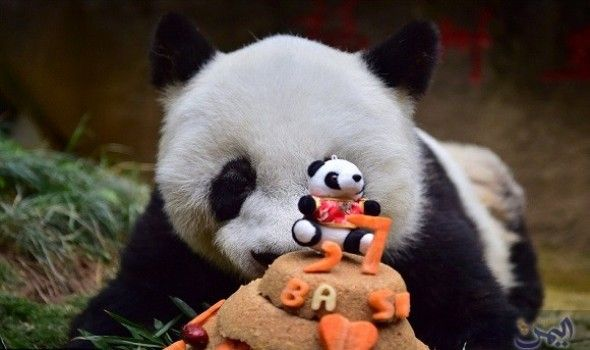 الاحتفال بعيد الميلاد الـ 37 لأكبر باندا بلغ أكبر حيوان باندا ضخم في العالم عمر الـ 37 وكان الدب باسي تم إنقاذه من نهر متجمد عن Panda Giant Panda Panda Bear