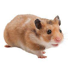 Male Fancy Bear Hamster Bear Hamster Hamster Breeds Pets For Sale