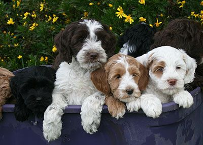 Black Hypoallergenic Labradoodle Puppies for Sale in