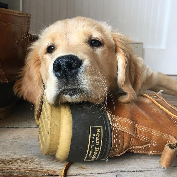 Heel Good Dog Photo Via Instagram Mainelykitt L L Bean Boots